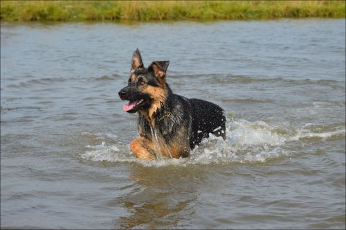 German Shepherd Nero 4