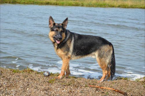German Shepherd Nero 5