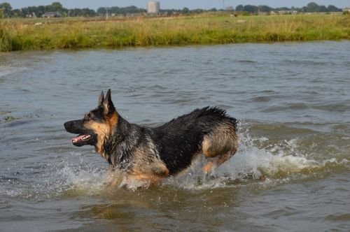 German Shepherd Nero 6
