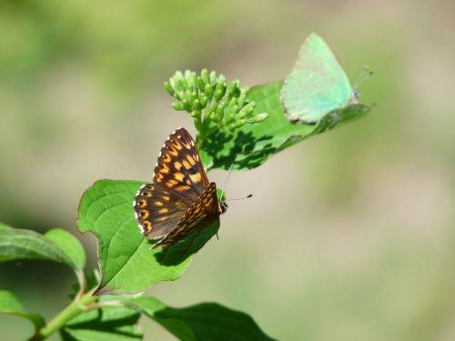 duke of burgundy butterfly territoriality