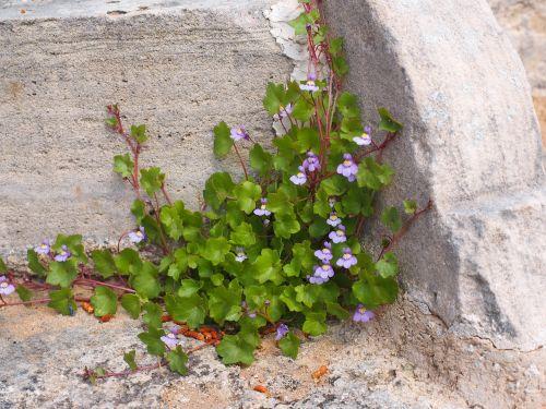 dulcimer žolė,žiedas,žydėti,mėlynas,violetinė,violetinė,zymbelkraut,sieninė zimbelkrautė,cymbalaria muralis,linaria cymbalaria,plantacinis šiltnamio efektas,plantaginaceae,wallflower,sienų gėlė,hemikryptophyt,Chamaefitas,dekoratyvinis augalas,vaistinis augalas,sienos augalas,įtrūkimai,dekoratyvinis sodo augalas,akmens sodas,pusiau lengvas augalas,laiptai,kampas