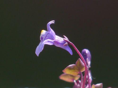 dulcimer herb blossom bloom