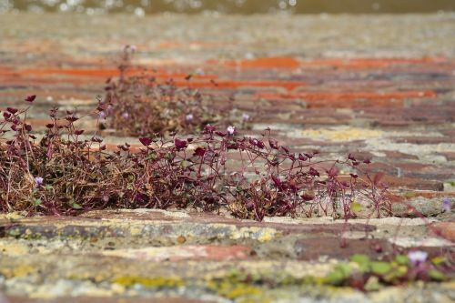 dulcimer žolė,žiedas,žydėti,siena,miesto siena,mėlynas,violetinė,violetinė,zymbelkraut,sieninė zimbelkrautė,cymbalaria muralis,linaria cymbalaria,plantacinis šiltnamio efektas,plantaginaceae,wallflower,sienų gėlė,hemikryptophyt,Chamaefitas,dekoratyvinis augalas,vaistinis augalas,sienos augalas,įtrūkimai,dekoratyvinis sodo augalas,akmens sodas,pusiau lengvas augalas