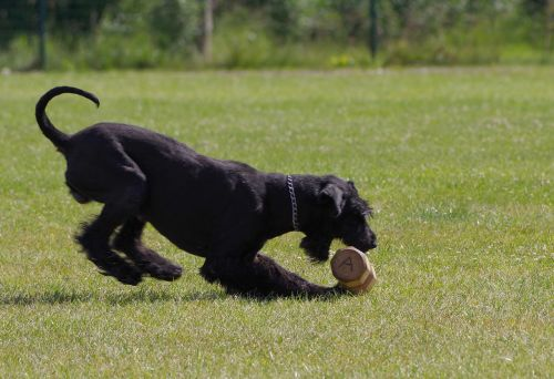 dumbbell retrieve giant schnauzer competition