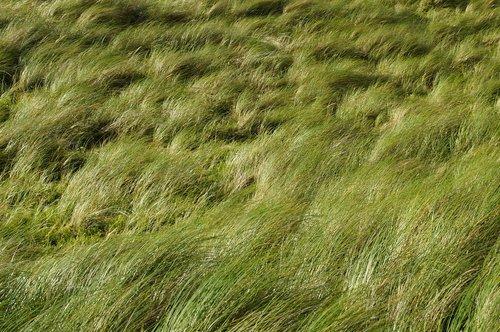 dune  grass  wind