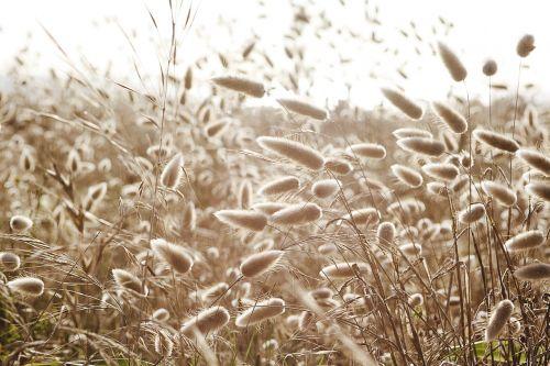 dune-grass hare's-tail cotton-grass