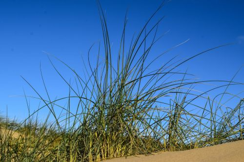 dune grass blue sky contrasts of the nature