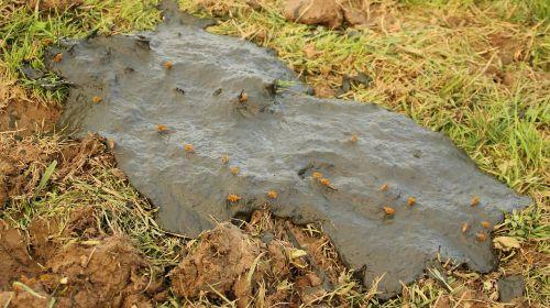 dung fly fruitful