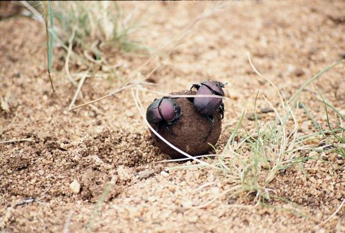 dung beatles,nature,beetle,dung,insect,wildlife,wild,bug,rolling,dung-beetle,africa,kruger national park,nature reserve,beatle,busy