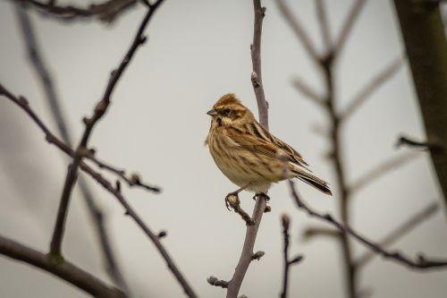 dunnock songbird bird