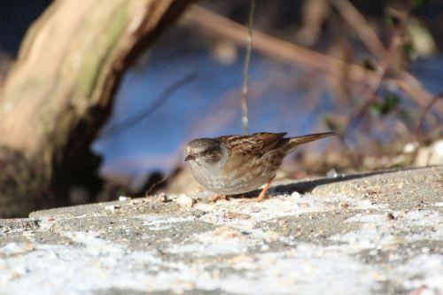 dunnock bird winter