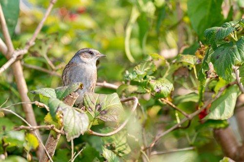 dunnock  mus  garden bird