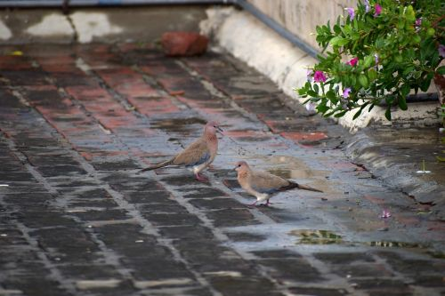 duos doves indian dove ring-necked dove