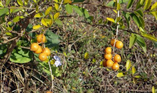 duranta berries yellow