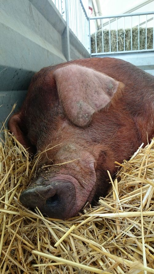 duroc pig domesticated pigs