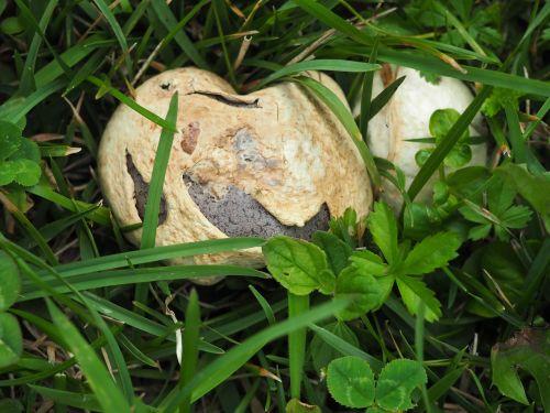 dust schwammerl meadow mushroom
