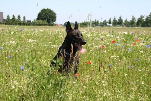 dutch shepherd dog shepherd dog