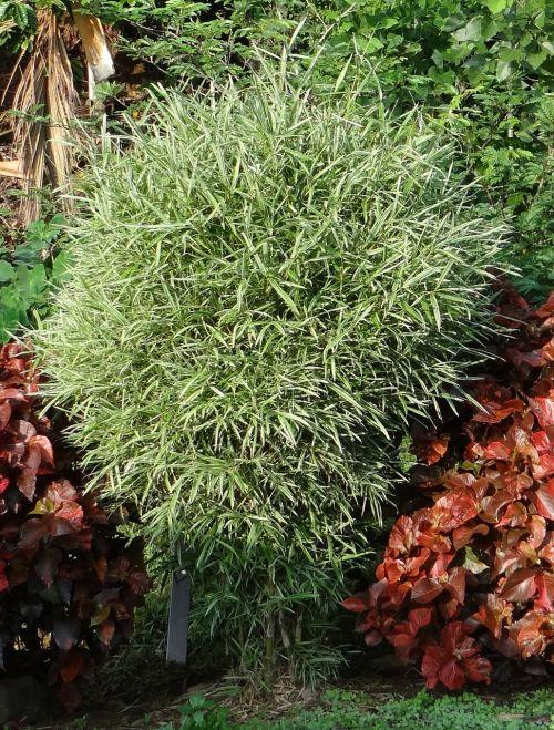 dwarf bamboo dwarf bambusa heterostachya variegated