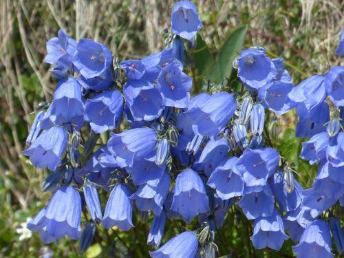 dwarf bellflower flower blossom
