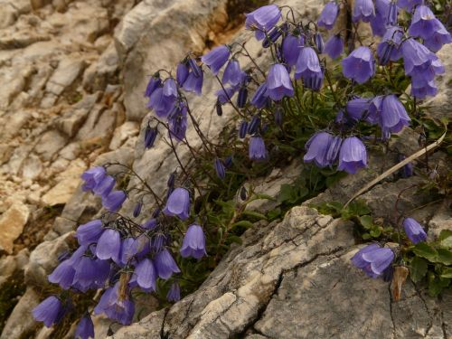 dwarf bellflower bellflower blue