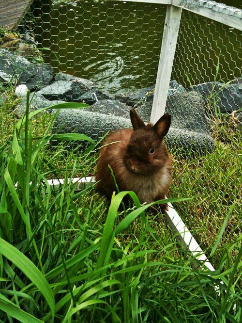 dwarf bunny rabbit long eared