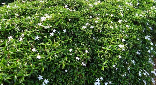 dwarf crape jasmine dwarf confederate jasmine chandni