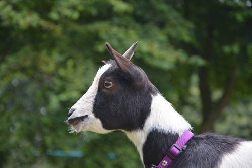 dwarf goat profile of goat black and white