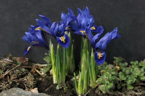 dwarf iris iris schwertliliengewaechs