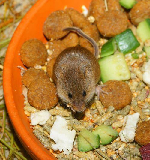 dwarf mouse cute food