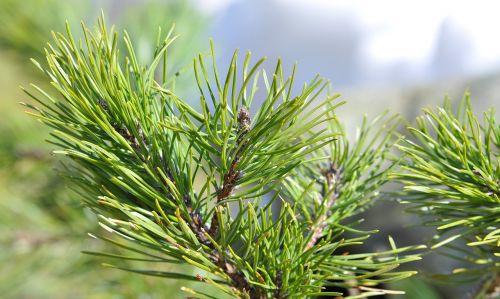 dwarf pine siberian dwarf pine conifer