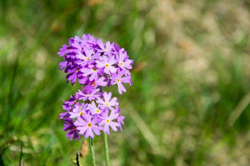 dwarf-primrose flower blossom