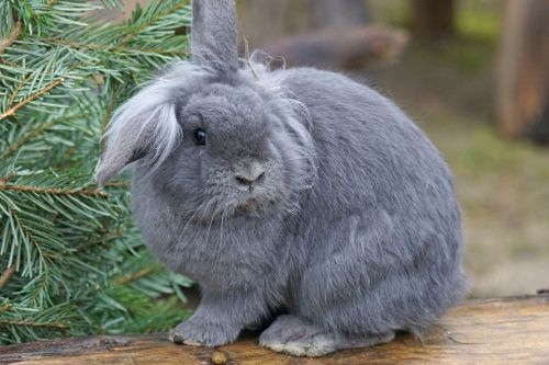 dwarf rabbit house rabbit pet