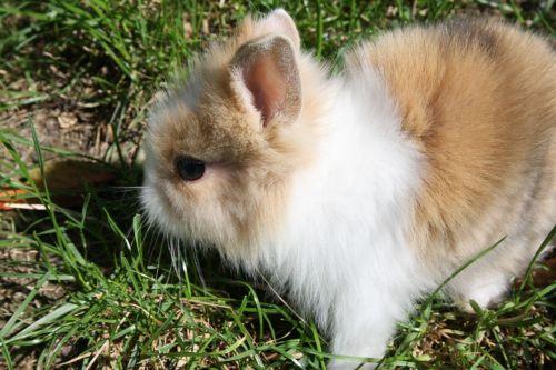 dwarf rabbit rabbit hare