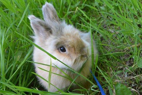 dwarf rabbit  rabbit lion head  the pin simba