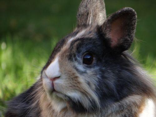 dwarf rabbit hare dwarf bunny