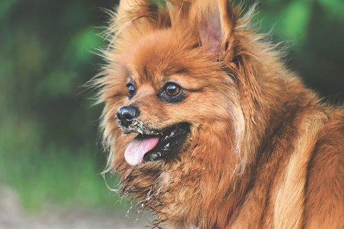 dwarf spitz  dog  cute