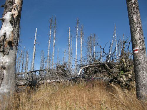 dying tree dead wood dead plant