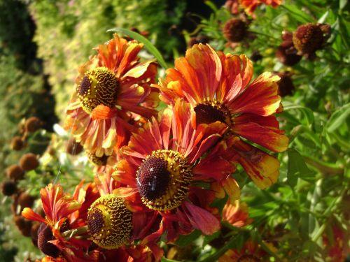 dzielżan autumn helena red shades perennial flower
