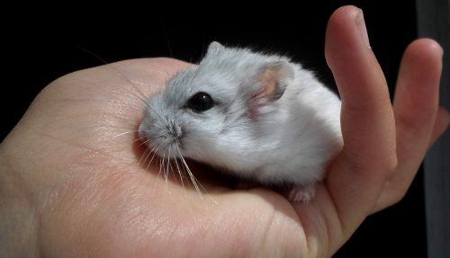 dzsungáriai dwarf hamster hamster white