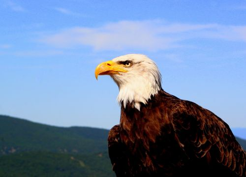 eagle majestic animal