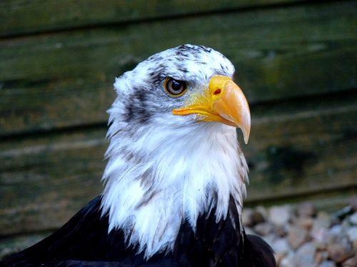 eagle raptor bird