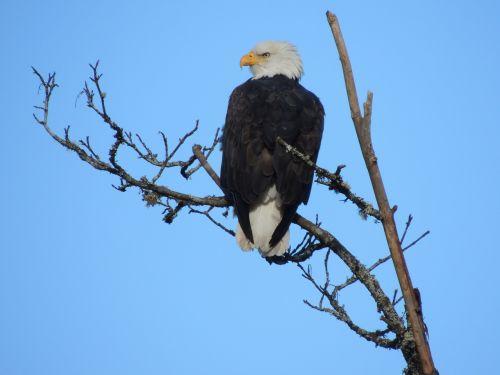 eagle nature majestic