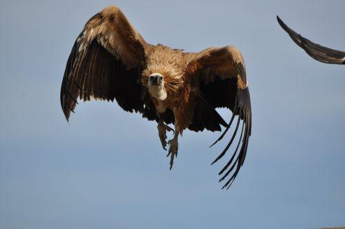 erelis,gamta,paukštis,laukiniai,zoologijos sodas,gyvūnas,laukiniai paukščiai,plunksnos,fauna,laukinė gamta,gyvūnai,raptoras,Laukiniai gyvūnai