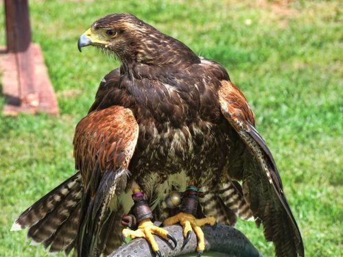 eagle british american