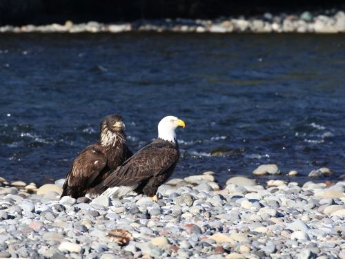 eagle teaching fishing