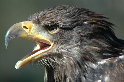 eagle 2 raptor screaming