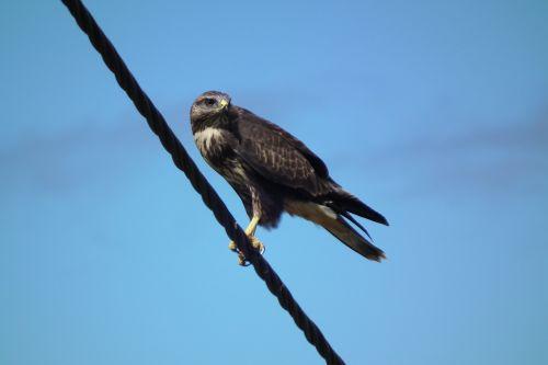 eagle bird prey