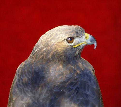 eagle bird of prey birds