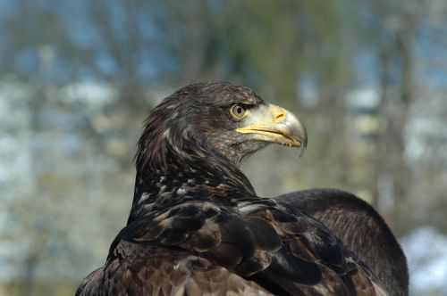 eagle 3 raptor observing