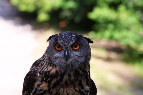night bird  predator  beak